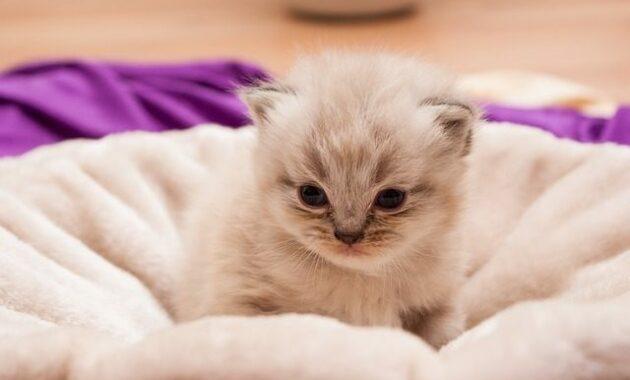 200 Nama Lucu Dan Keren Kucing Persia Jantan Betina Caraqu