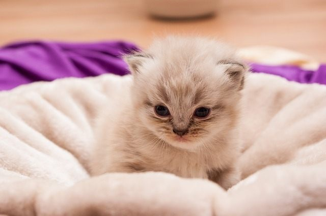 Nama Lucu Kucing Persia