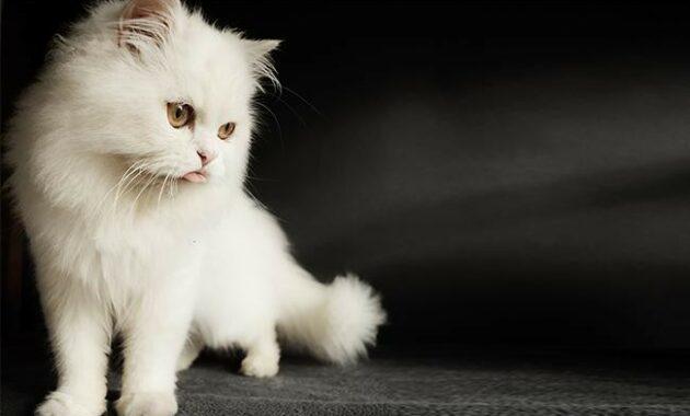 Nama Kucing Female 81021 Nama Untuk Kucing Comel Lucu Dan Unik
