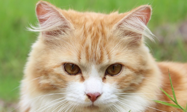Nama Kucing Lucu, Unik dan Keren
