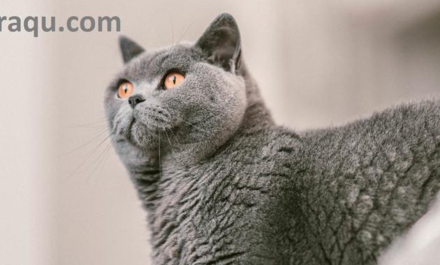 12 Jenis Kucing Lucu, Imut dan Terpopuler di Dunia 2020