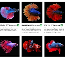 Jenis Nama Ikan Cupang